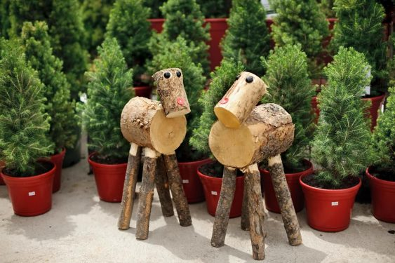 Christmas Trees in Pots - Picea Glauca